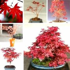 10PC Red Japanese Maple Palmatum Atropurpureum Plant Tree Seeds Garden Decor