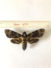 Acherontia Lachesis XL 12cm