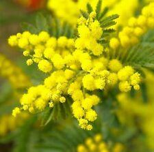 ☺20 graines de mimosa des 4 saisons / mimosa d été / acacia retinodes