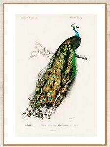 """Vintage art poster Peacock bird Australia gould print for glass frame 36"""""""