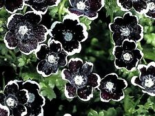 """Nemophila """"Penny Black"""" x 30 seeds. Ask for combined postage"""