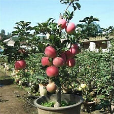 20 Apple Tree Seeds Garden Yard Outdoor Living Fruit Plant Fascinating Bonsai