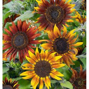SUNFLOWER GARDEN COLOUR MIX - 50 Seeds Heliantus Annus ( Slonecznik Mix).