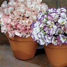 20+ Lisianthus Sapphire Flower Seeds Mix / Annual / Great Cut Flower/ Gift