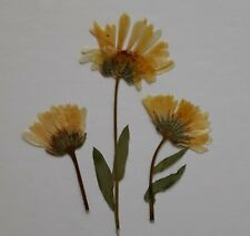 Real Pressed Flowers Dried 15 Calendula Marigold Organic Phone Case Crafts Diy