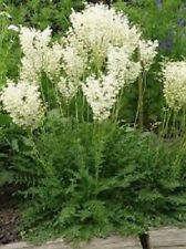 25+  FILIPENDULA,  DROPWORT / SHADE TOLERANT FERN  FERN-LIKE PLANT FLOWER SEEDS