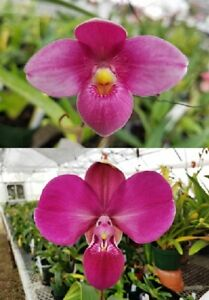 Phragmipedium Fall River 'Purple Passion' x kovachii 'Peruvian Love'