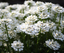 CANDYTUFT Iberis Sempervirens White Snow Clumping Hardy Perennial 10 Seeds