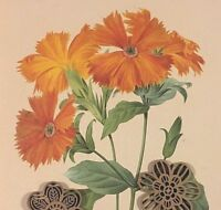 VTG Botanic Art Print Redoute Wildflowers Flora Engraving Repro ORANGE FLOWERS