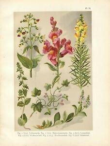 Stampa antica FIORI VERONICA BOCCA DI LEONE botanica 1919 Old Antique print