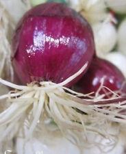 ♫ OIGNON /'Blanc de JUIN/' Allium cepa ♫ Graines ♫ Plante Gustative du Potager ♫