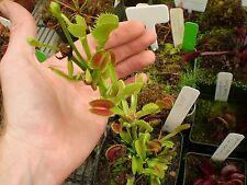 25x Seedeo Venus – Fliegenfalle Samen Saatgut Zimmer Pflanze #33