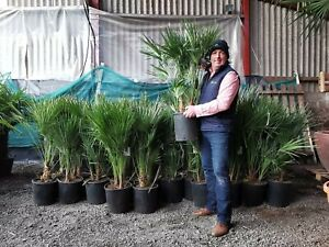 1 x 100cm inc pot as picture Chamaerops Humilis Palm Tree . Premium Quality