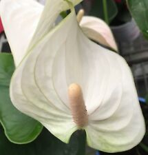 WHITE WINTER Anthurium tropical flowers indoor house plant in 140mm pot