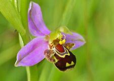 100 Bee Orchid Flowers Seeds Rare Beautiful Bonsai Plants Home Garden Decoration