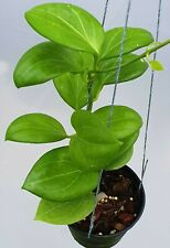 Hoya hellwigiana [B29J1],1 pot rooted plant10-12 inchesUnique!