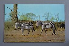 R&L Postcard: Zebra in Wild, J Salmon