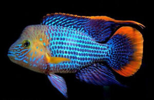 Green Terror 1.5 - 3 inch Tropical Juvenile Freshwater Fish BUY TWO GET ONE FREE
