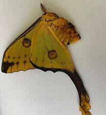 Argema Mittrei female A1 Papered Specimen Ex Madagascar