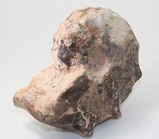 Ammonit, Mammites nodosoides, Kreide, Turon, Goulmina, Marokko (eb5414)