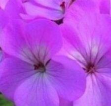 Geranium - Horizon Lavender - 10 Seeds
