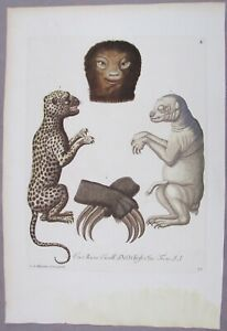 GEORG KNORR 1760'S NATURAL HISTORY HAND COLORED ENGRAVING  LEOPARD SLOTH