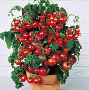 3 Pflanzen – ertragreiche Strauchtomate bildet Tomatensamen Tomatenpflanze