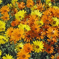 DIMORPHOTHERCA sinuate African Daisy Mix Seeds (F 386)