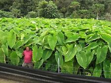 """3 Colocasia """"MAUI GOLD"""" Elephant Ear Plant Bulbs - Tropical! Huge Foliage!"""