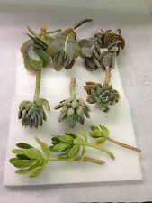 Succulent cuttings 3 varieties healthy and fresh 10 succulents large 5 to 8 inch