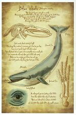 Blue Whale Information, Leonardo DaVinci Type Sketch, Marine Animal --- Postcard
