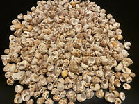 Gorgeous 1/2 Pound Lot Of Chestnut Turban Shells From Sanibel