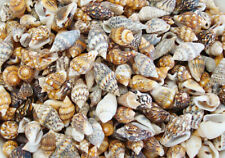 Nassa Shells - Large (Sold per 10kg)