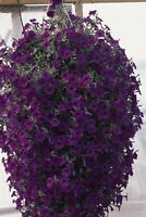 Petunia Wave Blue Annual Seeds