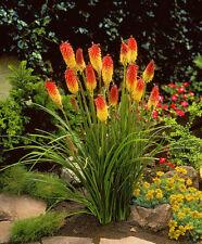 Fackellilie Samen / Bienenfreundlich  ca.100 Stück  Raketenblumen  mehrjährig