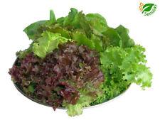 Mezcla Baby Leaf - Lechugas de Cortar ( 600 semillas ) seeds - lechuga mezcla