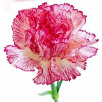 100PCS Pink Stripe Carnation Seeds Potted Courtyard Home Gardening Plants Flower
