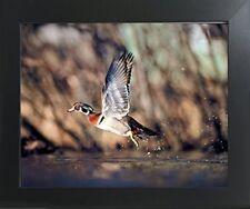 Wild Wood Duck Flying Bird Hunting Animal Wildlife Wall Art Decor Framed Picture