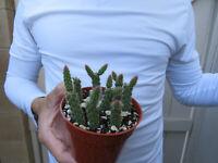 Rat Tail Cactus Aporocactus Flagelliformis