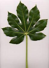 10 JAPANESE FATSI Shrub Flower Paperplant Fatsia Aralia Japonica Seeds *Comb S/H