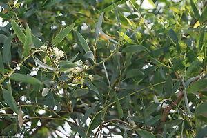 100% naturreines ätherisches Eucalypto-Citriodoraöl, China, 10 ml