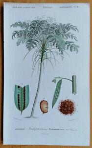 Orbigny Dictionnaire Originaldruck Botanik Baumfarn Trichopteris - 1849