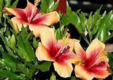 Shrub althea • Hibiscus syriacus  Flower Hibiscus Ice Cream 100 seeds