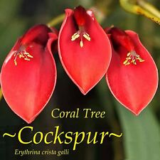 ~COCKSPUR CORAL TREE~ Erythrina crista-galli Ornamental HARDY Flowering 30 SEEDS