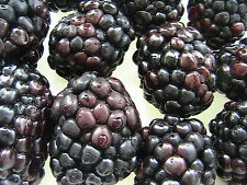 30 Thornless Blackberry Seeds -USA GROWN