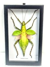 REAL GREEN JUNGLE NYMPH, HETEROPTERYX DILATATA TAXIDERMY IN BLK SHADOWBOX FRAME