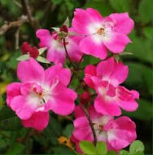 125+ Beautiful Alberta Wild Rose Seeds Bush Shrub Rosa Acicularis Rose Hips Sale