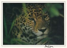 Belize, Belize City, 1997, Post Card, View Card, Tiger, to US