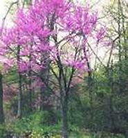 Redbud Tree- Eastern - 20 Seeds -