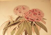 1849, STRIKING PRINT, RHODODENDRON CAMPBELLIAE, WALTER H. FITCH + J. D. HOOKER